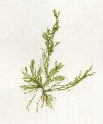 Cladophora - Image: Cladophora