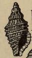 Clathromangelia granum 001.png