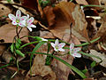 Claytonia virginica - Spring Beauty.jpg