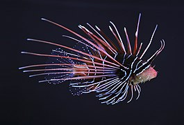 Clearfin lionfish (Pterois radiata).JPG