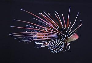 Clearfin lionfish (Pterois radiata).JPG
