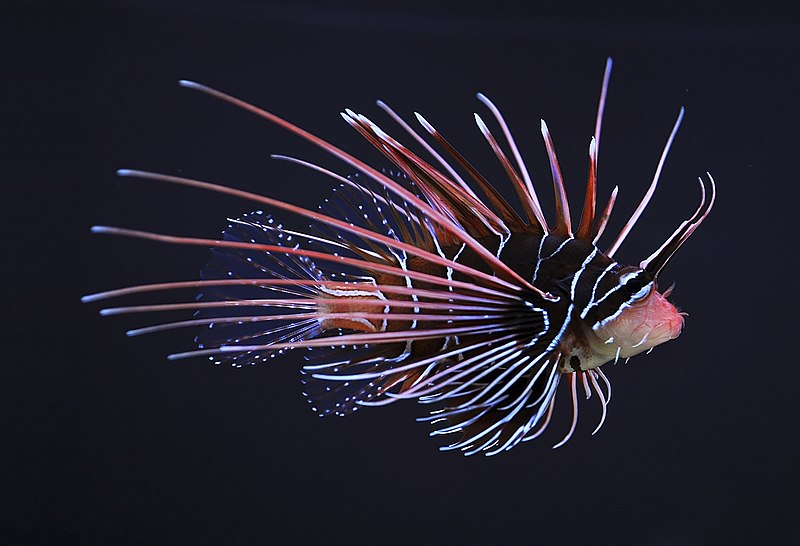 File:Clearfin lionfish (Pterois radiata).JPG
