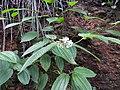 Clidemia hirta-2-peppara wildlife-kerala-India.jpg