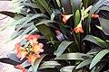 Clivia miniata 10zz.jpg