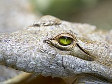 Close up of Crocodylus intermedius.jpg