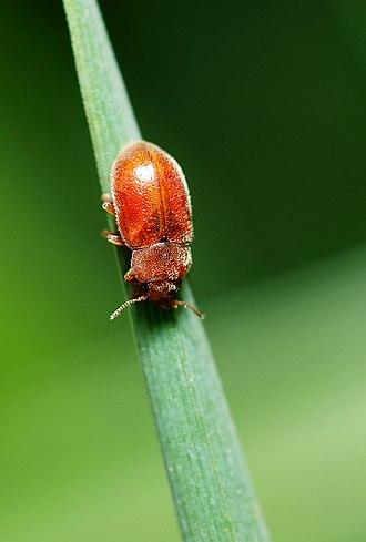 Coccidulinae - Adult Coccidula rufa