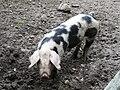 Cochon de Bayeux (4).JPG