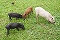 Cochons à São João dos Angolares (São Tomé).jpg