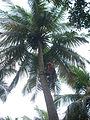 Coconut tree climbing DSCN0223.jpg