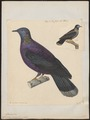 Columba denisea - 1825-1839 - Print - Iconographia Zoologica - Special Collections University of Amsterdam - UBA01 IZ15600335.tif