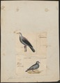 Columba spec. - 1700-1880 - Print - Iconographia Zoologica - Special Collections University of Amsterdam - UBA01 IZ15600325.tif