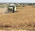 Combining-wheat-ahal.jpg