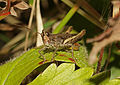 Common Field Grasshopper male - Chorthippus brunneus (24391188036).jpg