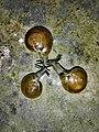 Common Indian Terrestrail Snail.jpg