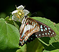Common Jay (Graphium doson) on Singapur Cherry (Muntingia calabura) W IMG 9600.jpg