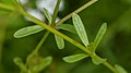 Common Marsh-Bedstraw (Galium palustre) - Guelph, Ontario 02.jpg
