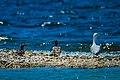 Common Mergansers (Mergus merganser) and Ring-billed Gull (Larus delawarensis) - Flickr - wackybadger.jpg