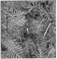 Common Spiders U.S. 459 Tetragnatha web.jpg
