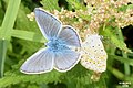 Common blues in cop (NH) (10975814355).jpg