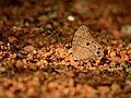 Common evening brown1.jpg