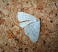 Common wave. Cabera exanthemata. (45863490731).jpg