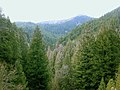 Conifer forest edit.jpg
