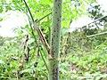 Conium maculatum stem (08).jpg