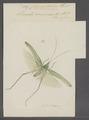 Conocephalus - Print - Iconographia Zoologica - Special Collections University of Amsterdam - UBAINV0274 066 01 0040.tif