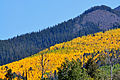 Contrast of Aspen and Ponderosa Pine on mountainside (3971465423).jpg