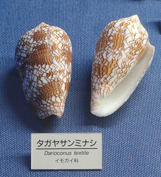 Conus textile - Osaka Museum of Natural History - DSC07840
