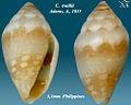 Conus traillii 1.jpg