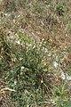 Conyza bonariensis (L.) Cronquist (AM AK357232-2).jpg