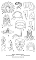 Cook 1898 American oniscoid Diplopoda of the order Merocheta, Plate 32.png