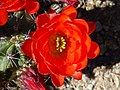 Coonly Garden, Echinocereus triglochidiatus - Claret Cup Hedgehog, Mayo Clinic Phoenix, Spring 2013 - panoramio.jpg