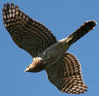 New riddle of induction - Image: Cooper's Hawk 2 edited