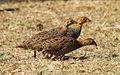Coqui francolin, Peliperdix coqui at Polokwani Nature Reserve (14675203084).jpg
