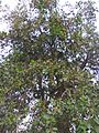 Cordia dichotoma in Patiala.jpeg