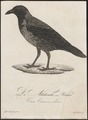 Corvus cornix - 1800-1812 - Print - Iconographia Zoologica - Special Collections University of Amsterdam - UBA01 IZ15700227.tif