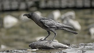 Corvus splendens feasting @ Kuala Lumpur (5s, p2).jpg