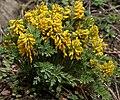 Corydalis govaniana in Kullu distt, HP W IMG 7003.jpg