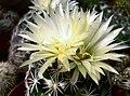 Coryphantha palmerii - 2.jpg