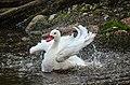 Coscoroba coscoroba (Coscoroba Swan - Koskorobaschwan) - Weltvogelpark 2012-01.jpg