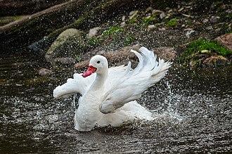 Coscoroba swan - Image: Coscoroba coscoroba (Coscoroba Swan Koskorobaschwan) Weltvogelpark 2012 01