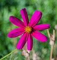 Cosmos bipinnatus Germany.jpg
