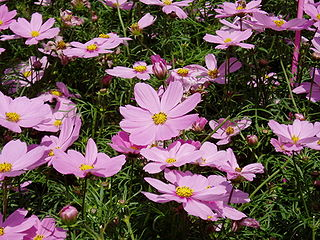 <i>Cosmos</i> (plant) Genus of flowering plants in the daisy family Asteraceae
