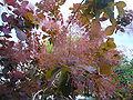 Cotinus coggygria (P1080498).jpg