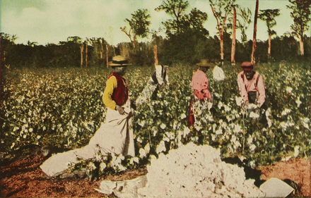 Early 20th-century U.S. photo: black people picking cotton on a plantation in the South - Plantation