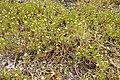 Cotula coronopifolia kz1.jpg