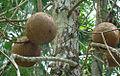 Couroupita guianensis, fruit of the Cannonball tree (9502479257).jpg