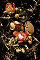 Couroupita guianensis - Murshidabad 2014-11-11 8899.JPG
